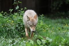 Loup d'Europe (Passion Animaux & Photos) Tags: loup europeen european wolf canis lupus parc animalier saintecroix france