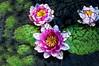 Cracked Lotus Flowers (Orbmiser) Tags: digitaldrawing digitalpainting krita huionh610 graphicstablet layers blending opensource