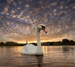 Sunset over the Pond (adrians_art) Tags: kensingtonroundpond hydepark london city urban windlife nature mute swans birds feathers water reflections silhouettes shadows sky clouds sunset evening gold yellow red blue amber orange light dark black white patterns kensingtongardens