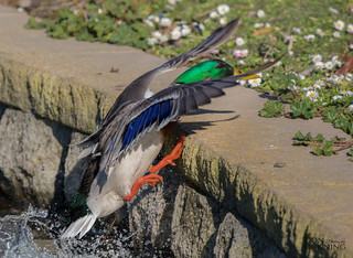 Mallard Drake (Anas platyrhynchos) Exiting the Pond