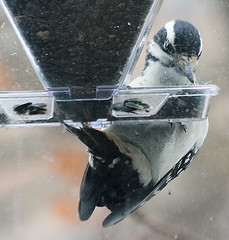 female Hairy Woodpecker window (REGOR NOTPUL) Tags: female hairy woodpecker feeder sunflower dirty window glenburnie ontario