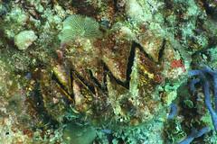 ZigZagClam (marciabernet) Tags: reeflife scubadiving clam maldivesdiving2018manthiri