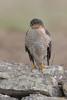 Sprawk on Wall (Mr F1) Tags: wild sparrowhawk johnfanning portland dorset uk nature outdoors bop birdsofprey raptor detail feathers talons