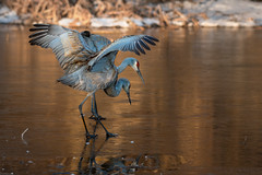 ColdCrispWalk (jmishefske) Tags: 2018 nikon winter halescorners d500 icy whitnall milwaukee pond march crane bird park preening wisconsin frozen sandhill