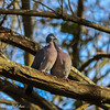 A Pair of Pigeons Titchfield Haven Nature Reserve (Meon Valley Photos.) Tags: a pair titchfield haven nature reserve ngc pigeons