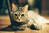 CNV000019 (雅布 重) Tags: f100 nikkor 50mm f14d tudorcolors xlx200 film snap japan tokyo 2018 cat 寵物 貓 木質