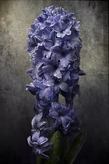 blue hyacinth (marcello.machelli) Tags: giacinto blu flower fiore blue nikon sigma novoflex focusstacking acro nicefotoo drops cce o 28o macro 150 28 nikond810 chiaroscuro arte arti arts r sigmaapomacro15028