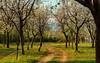 Spring Bloom (Mansoor Bashir) Tags: islamabad pakistan islamabadcapitalterritory pk spring cherry blossom trees park tree white flowers flora green bokeh canon 6d