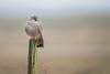 R18_0273 (ronald groenendijk) Tags: cronaldgroenendijk 2018 falcotinnunculus rgflickrrg animal bird birds birdsofprey copyrightronaldgroenendijk groenendijk kestrel nature natuur natuurfotografie netherlands outdoor ronaldgroenendijk roofvogels torenvalk vogel vogels