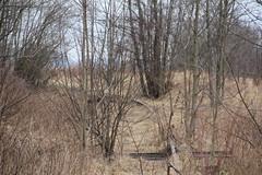 Overgrown line 308 track , Kostrzyca 12.03.2018 (szogun000) Tags: kostrzyca poland polska railroad railway rail pkp line branchline track disused overgrown d29308 dolnośląskie dolnyśląsk lowersilesia canon canoneos550d canonefs18135mmf3556is