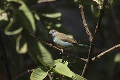 Cordon bleu (ommusarvoigu) Tags: cordon bleu bird uraeginthus bengalus gondar etiopia ethiopia ommusarvoigu wild