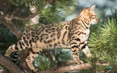 Bengal on Tree (Andreas Krappweis - thanks for 3 million views!) Tags: bengal bengals bengalcat action tree climbing up purebreed outdoor domesticcat pine garden likemargay leopard sonyalpha77mkii sal300f28g