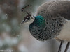 peahen in the snow 2 (brian eagar - very busy - not much time to comment) Tags: peahen peafowl bird nature animal wild outdoor outside yard snow winter february 2018