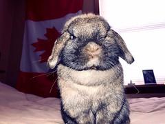 A bun (katie.ann07) Tags: cute serious bunny rabbit
