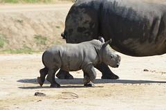DSC_4494 (Andrew Nakamura) Tags: animal mammal rhino rhinoceros southernwhiterhino whiterhino whiterhinoceros rhinocalf onthemove sandiegozoosafaripark safaripark escondido