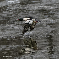 On Thee Wing! (jackalope22) Tags: duck icy migration