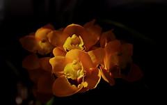 flower 1376 (kaifudo) Tags: sapporo hokkaido japan botanicalgarden flower cymbidium hokkaidouniversity 札幌 北海道 北大植物園 温室 シンビジウム nikon d810 sigmaapomacro150mmf28 sigma 150mm macro orchidaceae