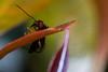 Hormiga paseando (carlosbenju) Tags: naturaleza nature verde macros macrofotografia macrodreams macrobug macroinsecto macroinsect macroinnature hormiga ant colores colors