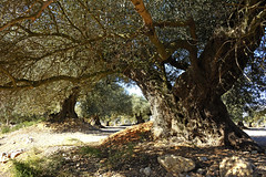 olivos milenarios-millenary olive trees (vitofonte) Tags: olivo olivetree olivas olives olivosmilenarios millenaryolivetrees aceite oil virginoliveoil aceitevirgen canetloroig castellón mediterraneo mediterraneansea naturaleza nature natura natureza vitofonte