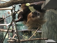 "Cocoa having a bite (beachkat1) Tags: ""zooatlanta"" cocoa zooatl sloth"
