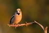 Hawfinch (parman31) Tags: grosbeccassenoyaux coccothraustescoccothraustes hawfinch passériformes fringillidés