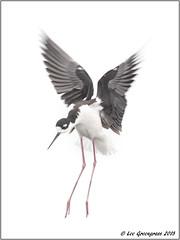Soft Landing (pandatub) Tags: bird birds stilt blackneckedstilt baylands paloalto