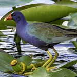 Purple Gallinule thumbnail