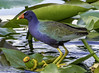 Purple Gallinule (Charles Patrick Ewing) Tags: bird birds gallinule purple blue red yellow water flower flowers landscape animal animals plant plants avian beautiful new all everything nature natural outdoor outdoors colorful colourful colors colours art artistic best