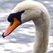 Swan Windsor great lake