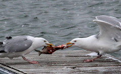 The argument (jefftome) Tags: gull herring fight fish foodchain animalnature nature animal food chain gulls birds