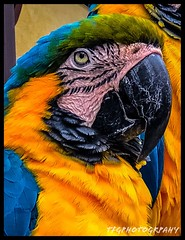 Parrot 3/11 (BullShow) Tags: gatorland florida iphone8 parakeet bird psexpress adobe