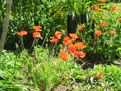Abundant Flanders Poppies (NevDev (Nev)) Tags: poppy poppies flanderspoppy papaverrhoeas cornpoppy flowers green shrub shrubs sydney newsouthwales plant plants australia greenery gardens gardening spring horticulture suburbangarden flower garden soil colour color flora nature petal petals leaf leaves beauty beautiful