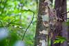 The Sunda flying lemur (Galeopterus variegatus) or Sunda Colugo, also known as the Malayan flying lemur or Malayan colugo. Permai Rainforest Resort (Phalinn Ooi) Tags: santubong kuching sarawak borneo malaysia asia permairainforestresort damai beach pantai sarawakculturalvillage kampungbudaya matangwildlifecentre tamannegara nationalpark kubah wetlands people portrait culture dayak wildlife animals nature outdoor adventure travel wanderlust holiday cuti jalan landmark orangutan flyinglemur proboscismonkey trekking hiking frog safari river boat photography canon eos dslr bokeh macro 5dm4 sape trump iban bidayuh wallace rainforestworldmusicfestival family son wife woman animal forest water tree sexy flora fauna food hotel local treehouse love architecture girl colugo