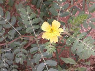 நெருஞ்சில் 4(Tribulus terrestris )