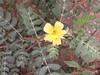 நெருஞ்சில் 4(Tribulus terrestris ) (Dr.S.Soundarapandian) Tags: tamilnadu medicinal herbal india thorn libido fertility yellow flower weed