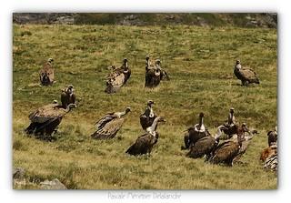 Vautours fauves - Griffon Vulture