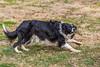 Herding Frisbees - Border Collie Frisbee III (Dustin Graffa) Tags: dog catch fetch frisbee disk lancaster lancasterpennsylvania pennsylvania jump agility colli border bordercolli bordercoli