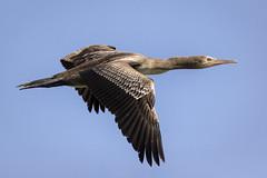 070A3270 (Cog2012) Tags: cormorant