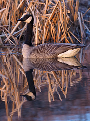 canada goose (Tim Gardner pics) Tags: