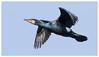 Cormorant 1-3 (Happy snappy nature) Tags: cormorant birdinflight beautiful bluesky nature wildlife outdoors sunnyday shropshire