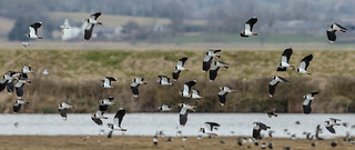 Flock of Lapwing and Dunlin