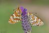 Dos en el cantueso 0195 (ajmtster) Tags: mariposas lepidópteros ninfálidos nymphalidae melitaeadeione melitaeatrivia cantueso lavandulastoechas butterflies