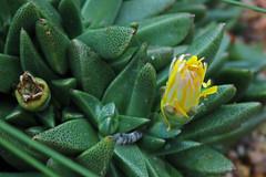 Nananthus vittatus (N.E. Br.) Schwant. - Kew Gardens
