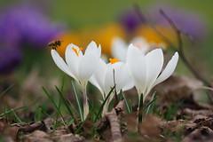 Spring!!! (nikjanssen) Tags: crocus bee krokus bij lente spring