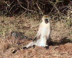 Monkey (Nagarjun) Tags: safaritrektourscoke safari nairobinationalpark kenya africa wildlife mosesnjomo brown dawn morning sunrise sunshine