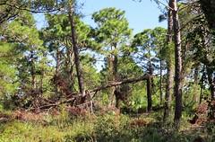 Hurricane Irma damage --  fallen Sand Pine 0020 (Tangled Bank) Tags: high ridge coastal scrub forest remnant palm beach county florida wild nature natural park area preserve plant flora botany hurricane irma damage fallen sand pine 0018