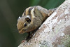 Western Striped Squirrel (ChongBT) Tags: nature natural animal mammal rodent squirrel western striped himalayan tamiops mcclellandii malaysia bukit tinggi