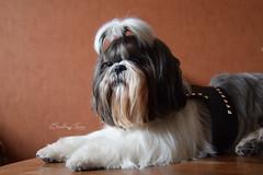 James (EmelineJames) Tags: dog chien animal maison shihtzu star rock