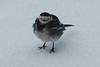 Pleased To See You (steve_whitmarsh) Tags: snow aberdeenshire scotland nature wildlife animal birds feathers piedwagtail abigfave