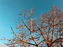 74/365/7 (f l a m i n g o) Tags: project365 365days march 7th 2018 wednesday color blue sky branches
